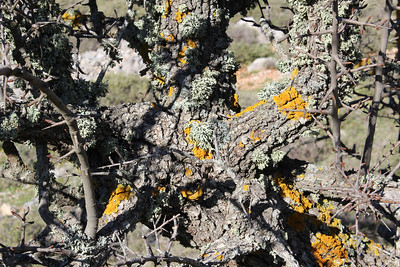 Five species of lichen: Ramalina farinacea (Melig takmos in Dutch, greenish, loose, fruticose exactly in the centre), Ramalina fastigiata (Trompettakmos in Dutch, greenish compact cushion above the centre), Pleurosticta acetabulum (Olijfschildmos in Dutch, foliose, dark olive-green, just right of the centre), Xanthoria parietina (Groot dooiermos in Dutch) and Lecidella elaeochroma (Gewoon purperschaaltje in Dutch, the black dots) on what is probably Pyrus spinosa