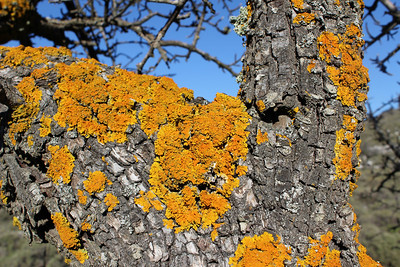 Three species of lichen: Xanthoria parietina (Groot dooiermos in Dutch), between these - pale grey - some Physcia adscendens (Kapjesvingermos in Dutch) and above a Ramalina fastigiata (greenish), on what is probably Pyrus spinosa
