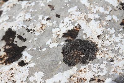 Verrucaria glaucina - Mozaïekstippelkorst in Dutch -, Verrucaria cf. nigrescens - Gewone stippelkorst in Dutch - & Aspicilia calcarea (white) - Plat dambordje in Dutch - (Coll dels Reis, 682m)