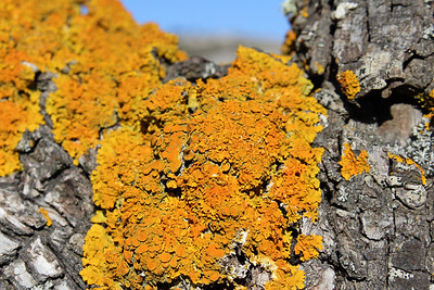 Two species of lichen: Xanthoria parietina (Groot dooiermos in Dutch) and some Physcia adscendens - pale grey - (Kapjesvingermos in Dutch), on what is probably Pyrus spinosa
