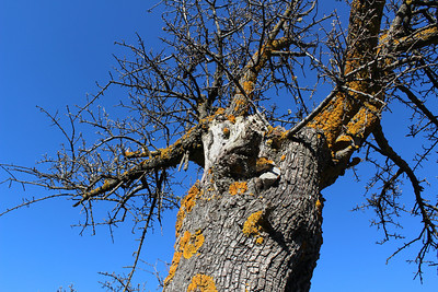 The lichen Xanthoria parietina (Groot dooiermos in Dutch) on what is probably Pyrus spinosa