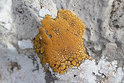Caloplaca cf. dalmatica - Oranje citroenkorst in Dutch - (Coll dels Reis, 682m)