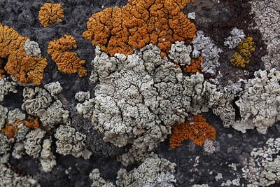 Xanthoria elegans (Rood dooiermos in Dutch, dark orange), Candelariella vitellina (Grove geelkorst in Dutch, dark yellow), Lecanora muralis (Muurschotelkorst in Dutch, slightly greenish), Physcia dubia (Bleek vingermos in Dutch, nearly white), Acarospora spec. (Steenschubje, dark brown above right)