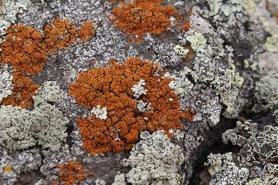 Three species of lichen: dark orange Xanthoria elegans (Rood dooiermos in Dutch), slightly greenish Lecanora muralis (Muurschotelkorst in Dutch) and pale grey Physcia caesia (Stoeprandvingermos in Dutch)