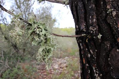 Ramalina fraxinea (Groot takmos in Dutch), Parque Natural Mondragó