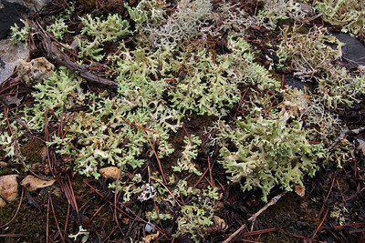 Cladonia foliacea - Zomersneeuw in Dutch - in wet state, when the white undersurface is facing the ground. Also visible - top right - is Cladonia furcata (Gevorkt heidestaartje in Dutch). Parque Natural Mondragó [Photograph by Marijn van den Brink]