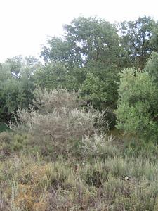 Habitat of Allium chamaespathum (western foothills of the Dikti Mountains)