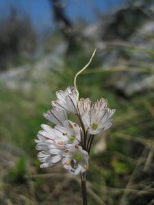 Allium callimischon ssp. callimischon (Mani Peninsula)