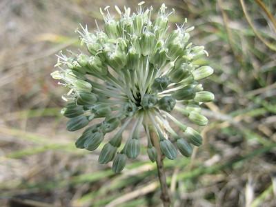 Allium chamaespathum (near the Lasithi Plateau)