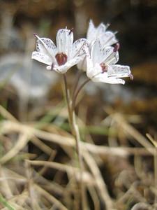 Allium callimischon ssp. haemostictum (near the village of Imbros)