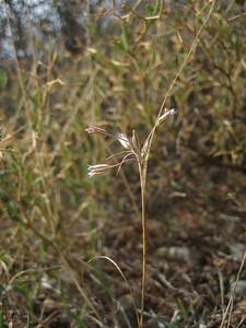 Allium ritsii - a narrow endemic (near Monemvasia)