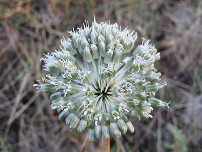Allium chamaespathum (Dikti Mountains)