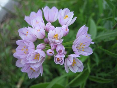 Allium roseum, photograph by Marijn van den Brink (Gargano)