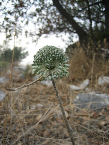 Allium chamaespathum (near Areopoli)