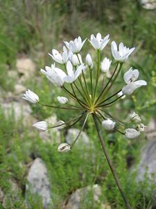 Allium neapolitanum, photograph by Marijn van den Brink (Gargano)