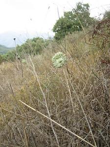 Allium chamaespathum (foothills of the Dikti Mountains)