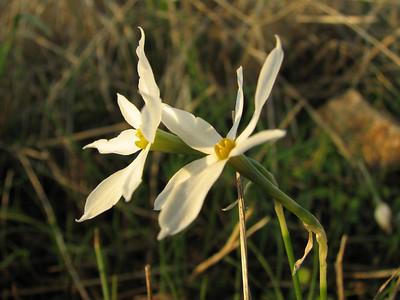 Narcissus serotinus (near Palia Monemvasia)