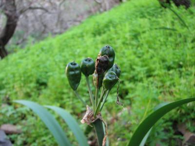 Pancratium canariensis