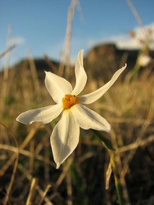 Narcissus serotinus (near Palia Monemvasia)