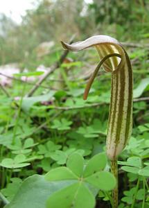 Arisarum vulgare (north of Areopoli)
