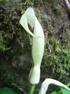 Arum spec. (forest near Murgul)
