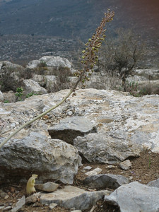 Biarum davisii ssp. davisii and Urginea maritima in fruit (somewhere SW of Hersonissos)