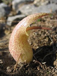 Biarum davisii ssp. davisii (east facing hills near the village Imbros)