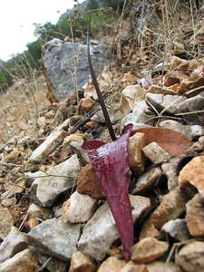 Biarum pyrami - identification confirmed by Peter Boyce (near Manavgat, SW Turkey)