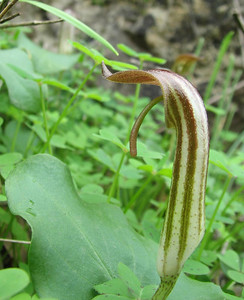 Arisarum vulgare (north of Areopoli)