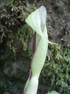Arum spec. (forest near Murgul)