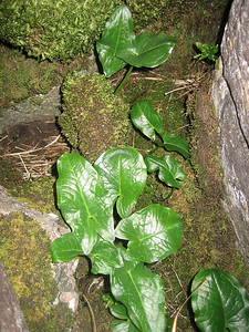 Arum maculatum, Yorkshire Dales