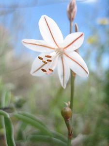 Asphodelus fistulosus, an annual or short-lived perennial (Gargano)