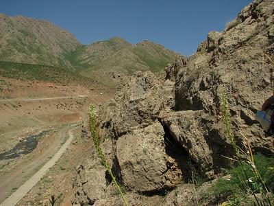 Eremurus spectabilis (Near Aligudarz)