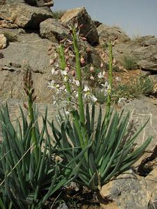 Eremurus persicus (15 km E of Daran)