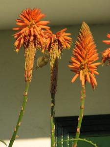 Aloe spec. (Puerto de la Cruz)