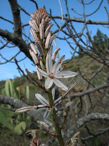 Asphodelus microcarpus? (along TF 38, between Las Cañadas and Chio, western Tenerife)