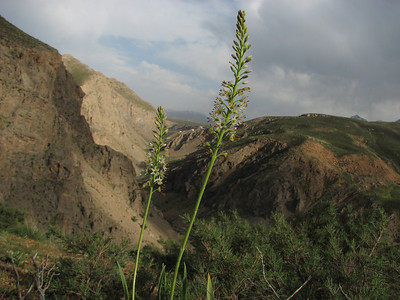 Eremurus spectabilis (50 km SW of Aligudarz)