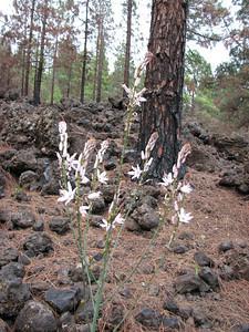 Asphodelus microcarpus? (east of Puerto de Santiago, along TF 38, between Las Cañadas and Chio, western Tenerife)