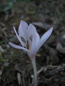 Colchicum cretense (near Omalos)