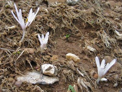 Colchicum cretense? (mountains bordering the Lasithi Plateau)