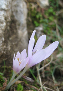 Colchicum cretense (north of the Omalos Plateau, foothills of the White Mountains)