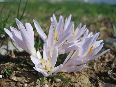 Colchicum cretense (mountains just north of the Lasithi Plateau, 1300m)
