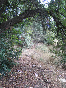 Colchicum macrophyllum (western foothills of the Dikti Mountains)