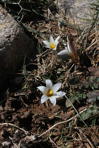 Romulea bulbocodium (Photograph by Janis Ruksans)