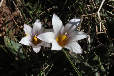 Romulea bulbocodium (Photograph by Janis Ruksans)