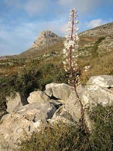 Urginea maritima (Dikti Mountains)