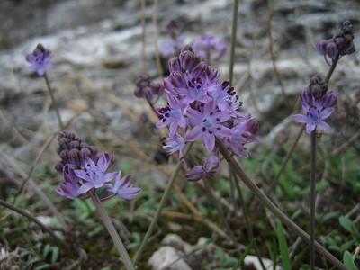 Scilla autumnalis (near Spilia)