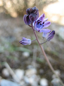 Scilla autumnalis (Between Kalamaki and Volos)