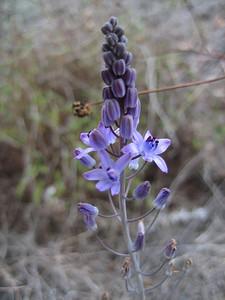 Scilla autumnalis (west of Mt. Giona)
