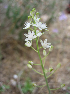 Scilla autumnalis, a white form (near Ancient Aptera, 15km east of Chania)